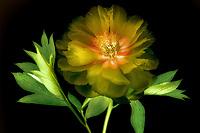 Close up of yellow peony. Oregon