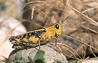 Schönschrecke, Costas Schönschrecke, Südliche Schönschrecke, Weibchen, Calliptamus barbarus, Locust, Pink Winged Grasshopper, female