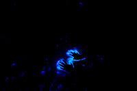 Bioluminescence, Swedish West Coast