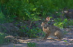 Snowshoe hare in northern Wisconsin.