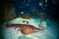 sharpnose guitarfish, Glaucostegus granulatus, found in the tropical Indo-Pacific Ocean (c)
