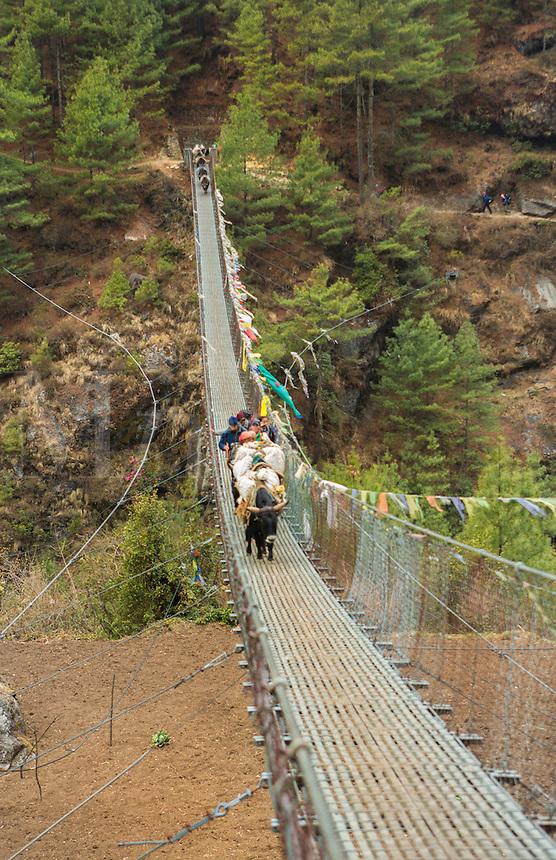 Nepal Himalayas Dzo yaks walking accross suspension bridge at Larjha Doban Solukhumbu remote cow yak Mt Everest