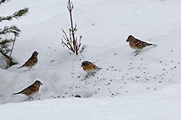 Bergfink, Trupp, Schwarm an der Vogelfütterung, Fütterung im Winter bei Schnee, frisst Körner am Boden, Winterfütterung, Berg-Fink, Fringilla montifringilla, brambling