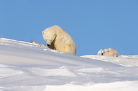 polar bear, Ursus maritimus, mother feeding on grass to get her digestive system going as her newborn spring cubs play, mouth of Canning River along the Arctic coast, eastern Arctic National Wildlife Refuge, Alaska, polar bear, Ursus maritimus