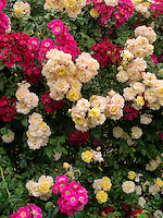 Wall of climbing roses. Heirloom Gardens. St. Paul, Oregon