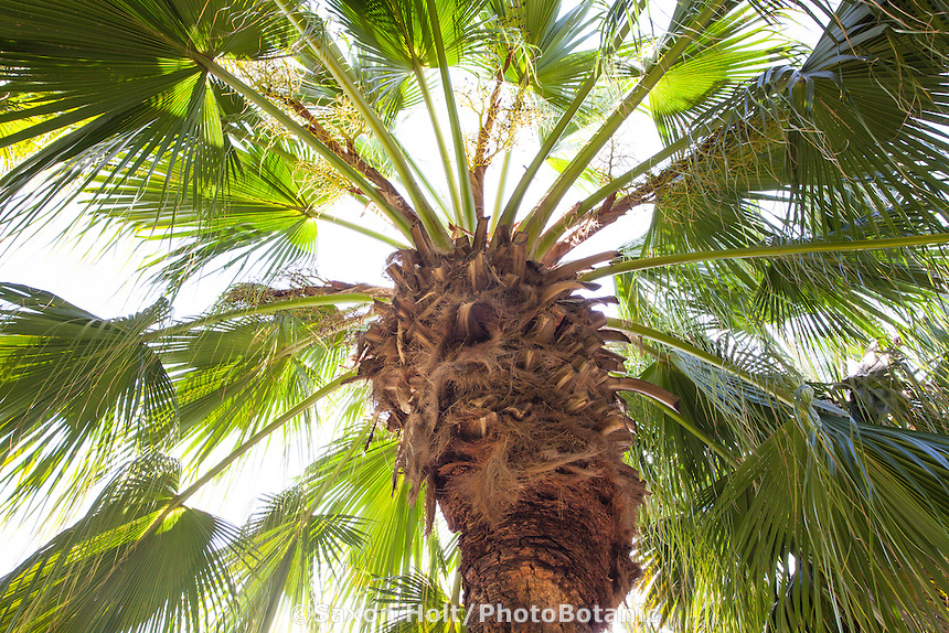 Chinese Fan Palm tree (Livistonia chinensis) with radiating leaves from top of trunk; Arecaceae monocot plant family
