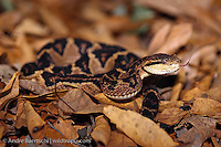 South American Bushmaster(Lachesis muta muta), juvenile, in defensive posture, lowland tropical rainforest, Madidi National Park, Bolivia.