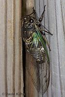 0901-0824  Dog-day Cicada, Tibicen spp.  © David Kuhn/Dwight Kuhn Photography.