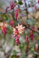 Ribes x Gordonianum