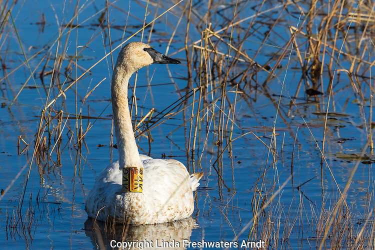 Banded trumpeter swan swimming in Phantom Lake at Crex Meadows Wildlife Area.