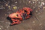 Mating red crabs.Gecarcoidea natalis