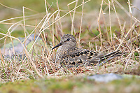 Adult Temminck's Stint (Calidris temminckii) incubating nest. varanger Peninsula, Norway. June.