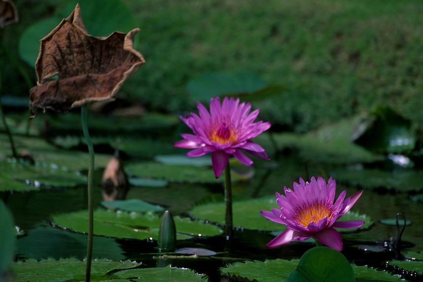 Fragrant Water Lilies (Nymphaea odorata), Allerton Garden, National Tropical Botanical Garden,<br /> Kauai, Hawaii, US
