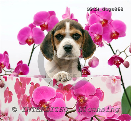 Xavier, ANIMALS, dogs, photos+++++,SPCHDOGS868,#a# Hunde, perros