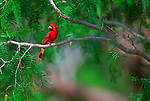 A sanctuary among the mesquite offers this male cardinal a respite from the blazing sun of a south Texas day.
