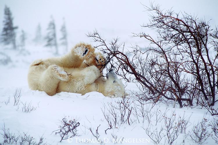 Polar bear cub plays with a bush at Hudson Bay, Churchill, Manitoba, Canada.