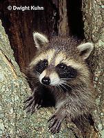 MA25-184z  Raccoon - young raccoon exploring, climbing tree  - Procyon lotor