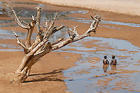 "Afrika Uganda Karamoja , Volk der Karimojong , Kinder im Flussbett -  Klima Klimawandel xagndaz | .Africa Uganda Karamoja , Karimojong a pastoral tribe , children play in river bed.  -  indigenous people  .| [ copyright (c) Joerg Boethling / agenda , Veroeffentlichung nur gegen Honorar und Belegexemplar an / publication only with royalties and copy to:  agenda PG   Rothestr. 66   Germany D-22765 Hamburg   ph. ++49 40 391 907 14   e-mail: boethling@agenda-fototext.de   www.agenda-fototext.de   Bank: Hamburger Sparkasse  BLZ 200 505 50  Kto. 1281 120 178   IBAN: DE96 2005 0550 1281 1201 78   BIC: ""HASPDEHH"" ,  WEITERE MOTIVE ZU DIESEM THEMA SIND VORHANDEN!! MORE PICTURES ON THIS SUBJECT AVAILABLE!! ] [#0,26,121#]"