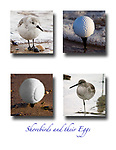 """Humorous fine art photo of sandpipers and their eggs.  Well, not really, includes birds looking very round and includes tennis ball and golf ball as their """"eggs"""""""