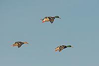 Mallard Ducks, Brownfield, TX