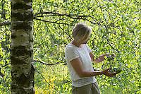 Birkenblätter-Ernte, Frau erntet Blätter von Birke, Birkenblatternte, Birkenblatternte, Birke, Hänge-Birke, Sand-Birke, Hängebirke, Betula pendula, European White Birch, Silver Birch
