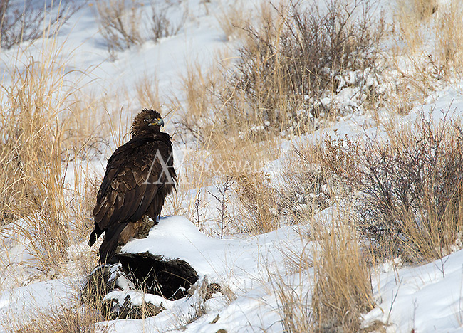Golden eagles are commonly seen along the Lamar River, where they often prey on waterfowl.