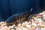 """Juvenile Blue Tilapia in Hydroponic/Aquaculture tank with large gravel bottom, Rehoboth, Massachusetts.  The larger fish is 3 inches and the smnaller is approximately one inch long.  Adult Blue Tilapia range in the 10-12"""" length when mature."""