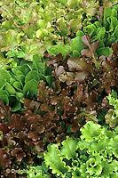 HS21-019x  Lettuce - mixed varieties - Vulcan, Romulus, Red Salad Bowl, Waldmanns Dark Green