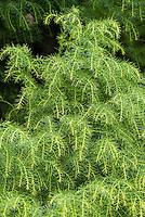 Cryptomeria japonica 'Elegans Aurea' Japanese cedar tree details