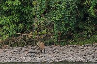 Jaguar (Panthera onca), adult male at the edge of the upper Tambopata River, lowland tropical rainforest, Bahuaja-Sonene National Park, Puno, Peru.