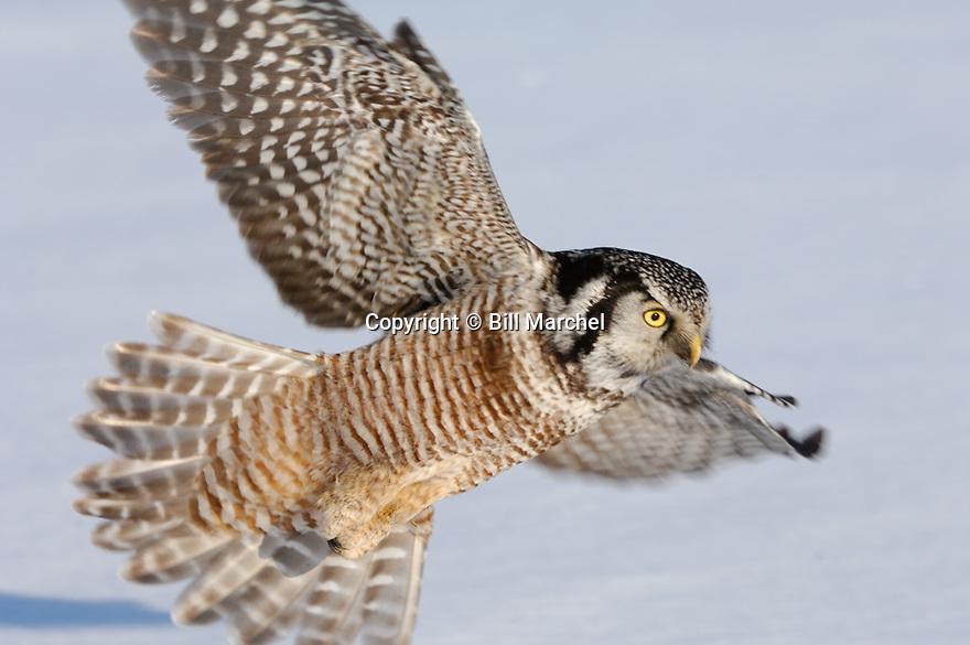 00831-007.17 Hawk Owl Surnia ulula is in flight low over snow covered meadow during winter.  Bird of prey, raptor, predator. H8R1