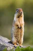 Columbian Ground Squirrel standing on a rock