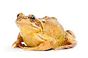Common frog {Rana temporaria}, photographed on a white background in mobile field studio, Derbyshire, UK. March.