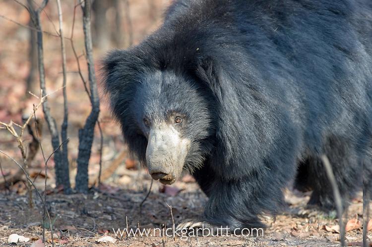 Adult sloth bear (Melursus ursinus) walking though forest. Satpura National Park, India