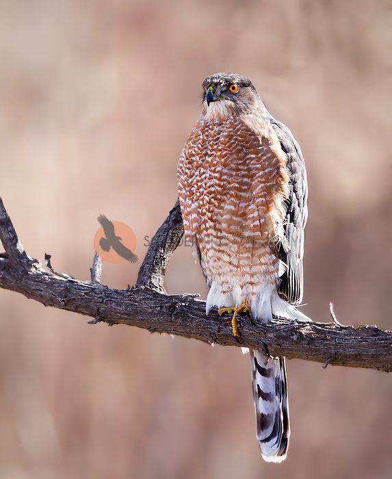 An adult Cooper's Hawk perched on a limb in sunshine