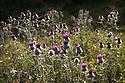 Woolly Thistle {Cirsium eriophorum} in  flower in alpine meadow. Nordtirol, Tirol, Austrian Alps, Austria, August.
