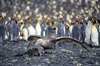 southern giant petrel, Macronectes giganteus, feeds on carcass in king penguin colony, Aptenodytes patagonicus, South Georgia Island, U.K., S. Atlantic