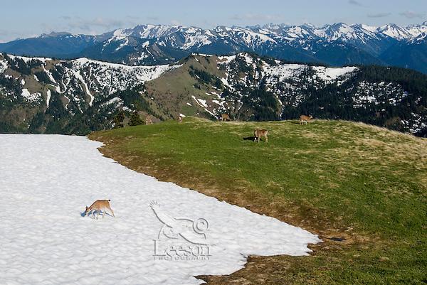 Black-tailed deer (Odocoileus hemionus) feeding along receding snowpatch in alpine meadow of Olympic National Park, Washington.  Summer.