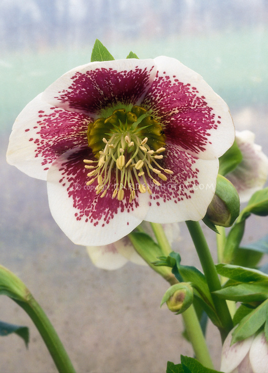 Helleborus x hybridus, Single White & red spotted, flowers of Hellebore White Spotted Lady