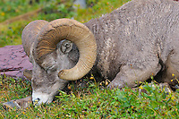 Rocky Mountain Bighorn Sheep ram or Mountain Sheep ram (Ovis canadensis) sleeping.  Glacier National Park, Montana.  Fall.