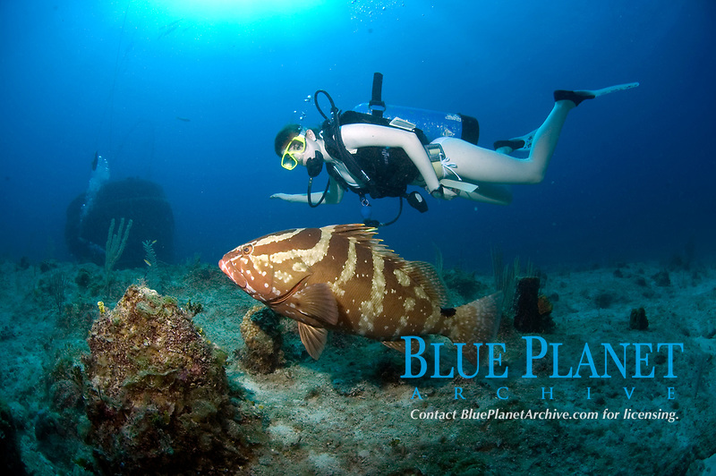 Diver observing a nassau grouper, epinephelus striatus