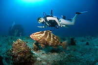 Diver observing a nassau grouper, epinephelus striatus