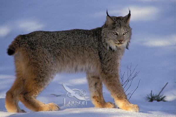 Lynx. Winter.  North America. (Felis lynx canadensis).