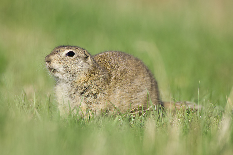 Richardson's Ground Squirrel eating a blade of grass