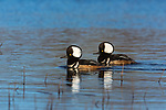 Drake hooded merganser swimming on a northern Wisconsin lake