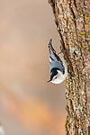 White-breasted nuthatch in northern Wisconsin.