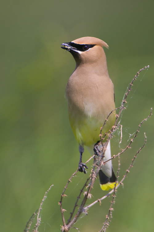 Cedar Waxwing eating an insect