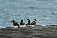 Female Harlequin duck with her three immature (half grown) ducklings along western river.  Summer.