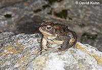0304-0928  American Toad, © David Kuhn/Dwight Kuhn Photography, Anaxyrus americanus, formerly Bufo americanus