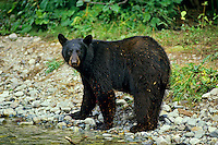 Black Bear (Ursus americanus) walking by Northwest coastal stream.  Summer.